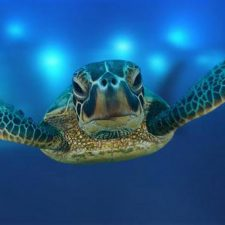 Sea Turtles Are Now Nesting on Kauai