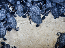 Sunset World Resorts Achieves Successful Results in the Sea Turtle Conservation Program